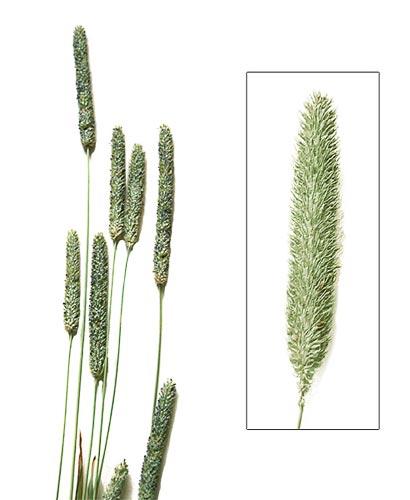 L'immagine raffigura alcune piante di grano, mais e orzo importanti per i soggetti allergici alle graminacee<br /><br /><br /><br /><br /><br />