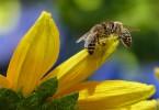 allergia alle api
